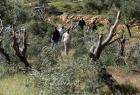 91 اعتداء للمستوطنين على قاطفي الزيتون منذ بدء الموسم (2021) في الضفة