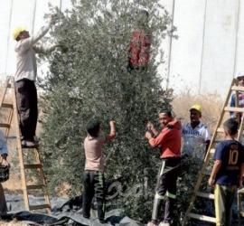 مساندة المزارعين في قطف الزيتون في محافظة سلفيت