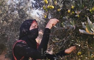تقرير بالصور: قطف ثمار الزيتون في غزة… أجواءٌ تراثية على أنغام الأهازيج الشعبية