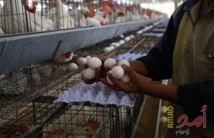 أكبر منتجي البيض في العالم